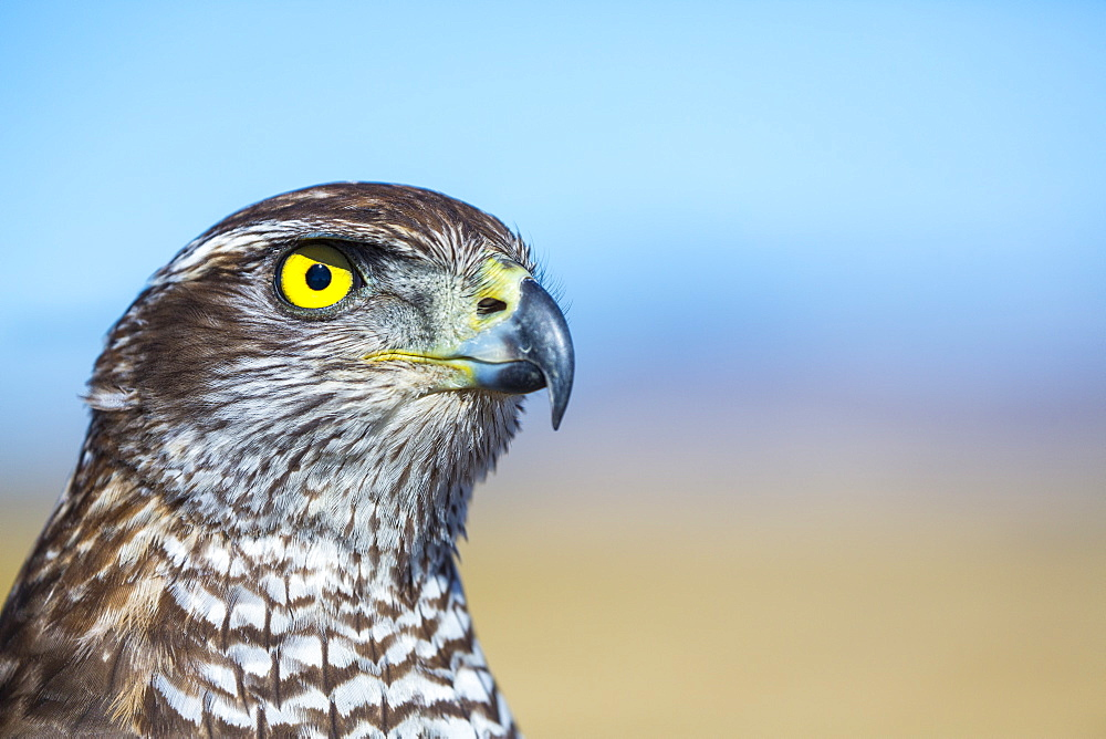 Portrait of Northern Goshawk, Burgos Spain