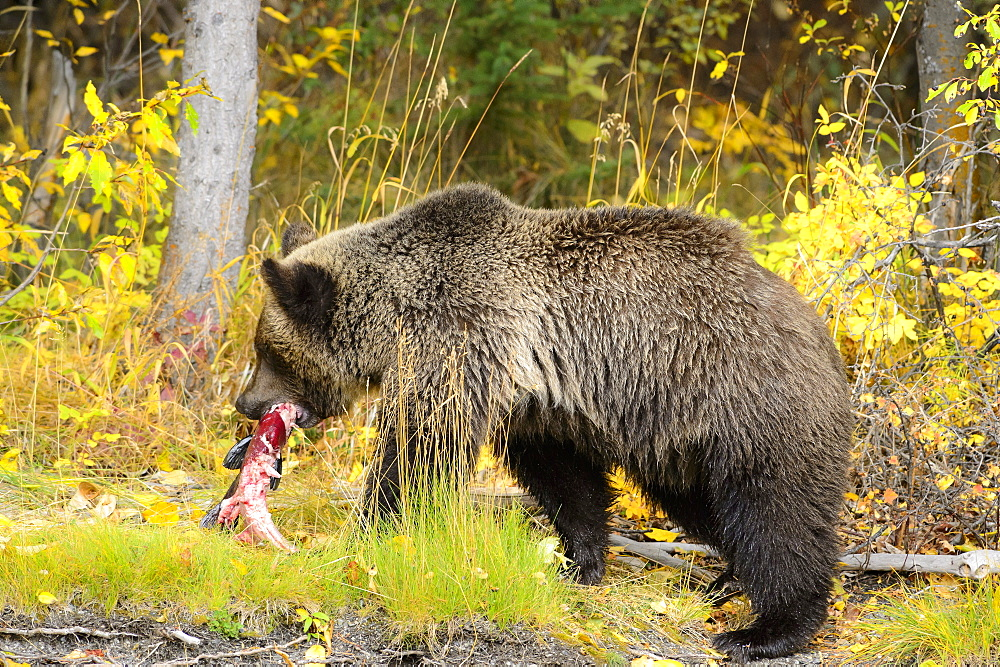 Grizzly eating a salmon, Chilcotin Mountains Canada