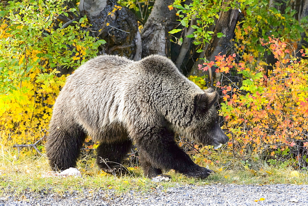 Grizzly walking on the bank, Chilcotin Mountains Canada