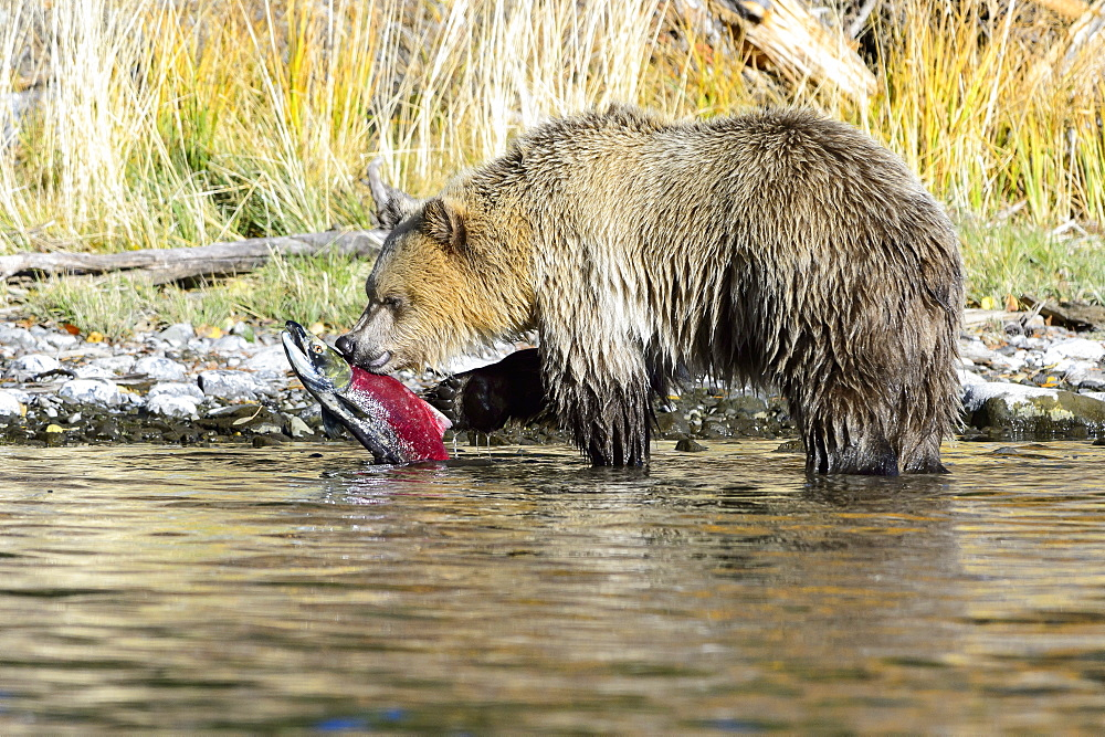 Grizzly capturing a salmon, Chilcotin Mountains Canada