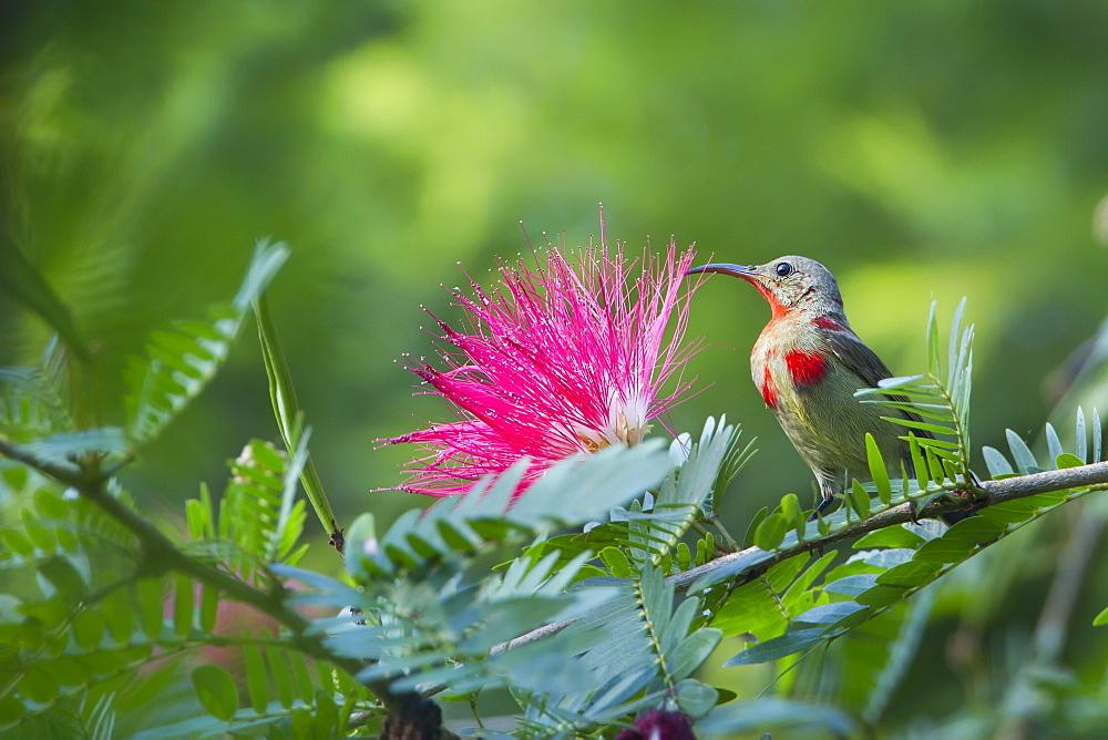 Crimson sunbird on a branch, Royal Bardia NP Nepal