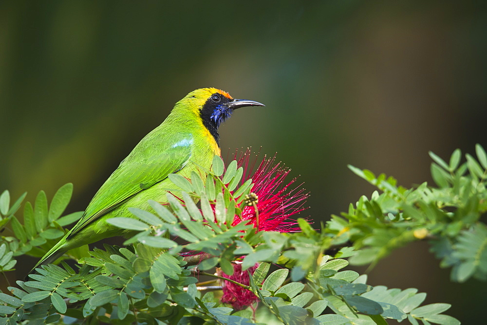Golden-fronted leafbird on a branch, Royal Bardia NP Nepal
