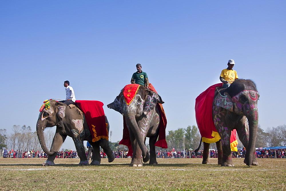 Elephants dressed, Elephant festival Chitwan Nepal