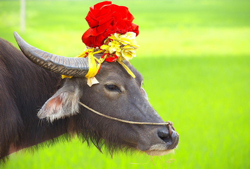 Domestic yak decorated, Region Ninh Binh Vietnam