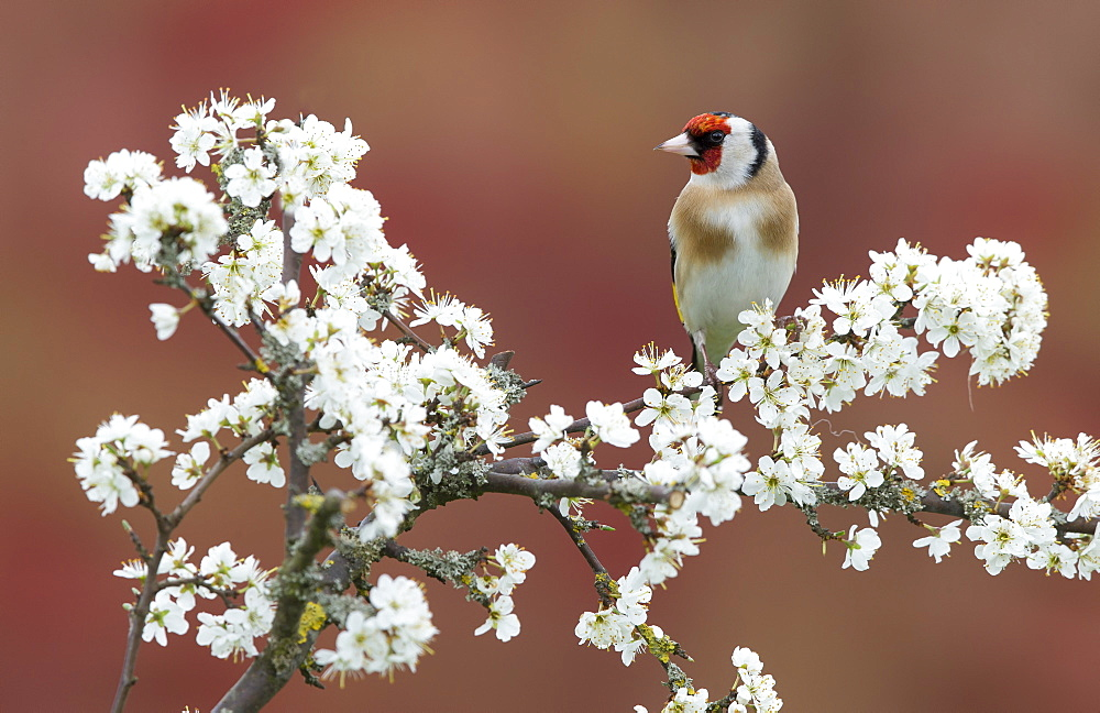 Goldfinch perched in a Blackthorn in spring, GB