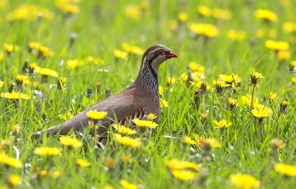 Red-legged Partridge in a blooming meadow in spring, GB