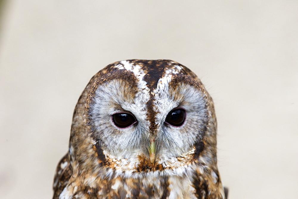 Portrait of Tawny Owl, Sologne France