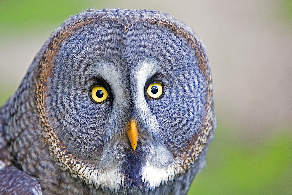 Portrait of Great Grey Owl, Sologne France