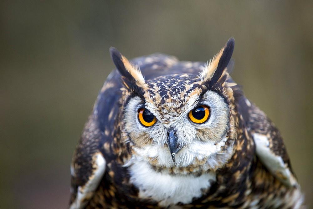 Portrait of  Cape Eagle-Owl , Sologne France