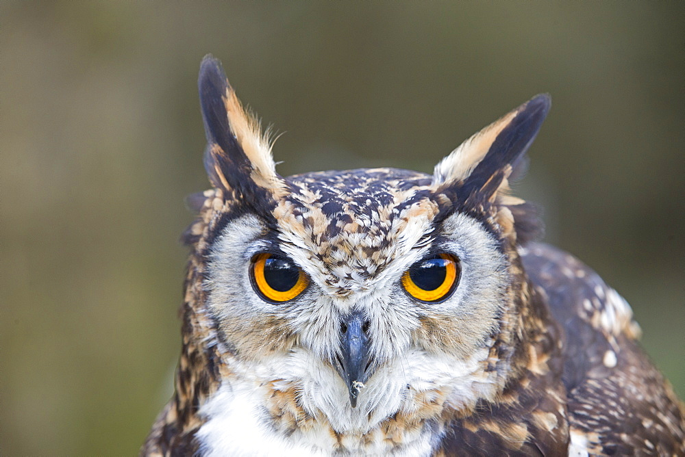Portrait of  Cape Eagle-Owl , Sologne France