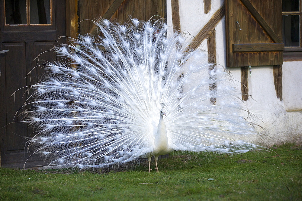 Peacock blue leucistic male displaying, Sologne France