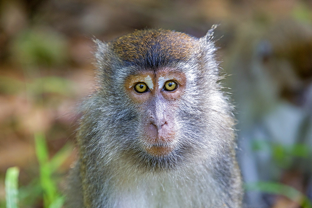 Portrait of Long-tailed macaque in forest, Bako Malaysia