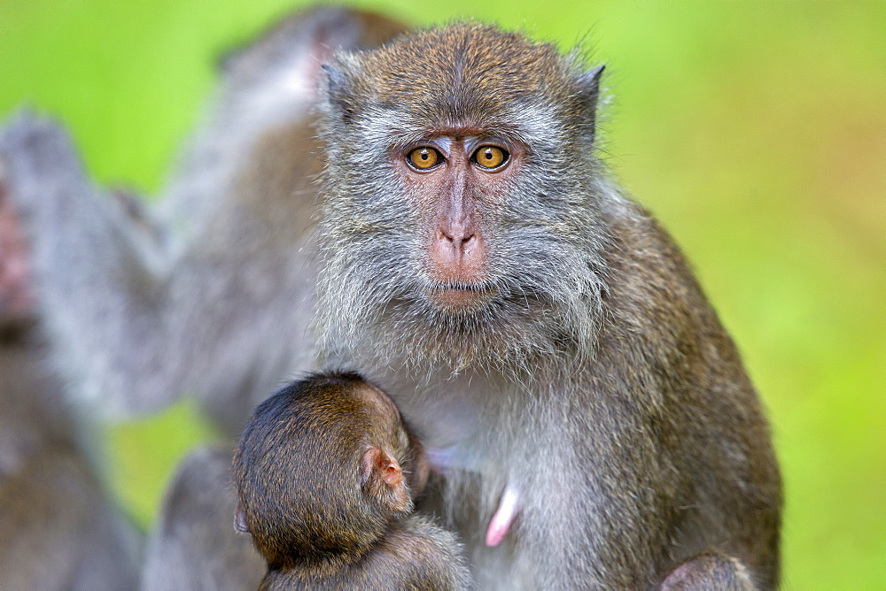Long-tailed macaque nursing her young, Bako Malaysia