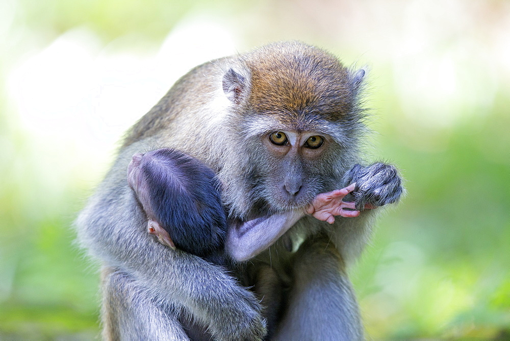 Long-tailed macaque grooming her young, Bako Malaysia