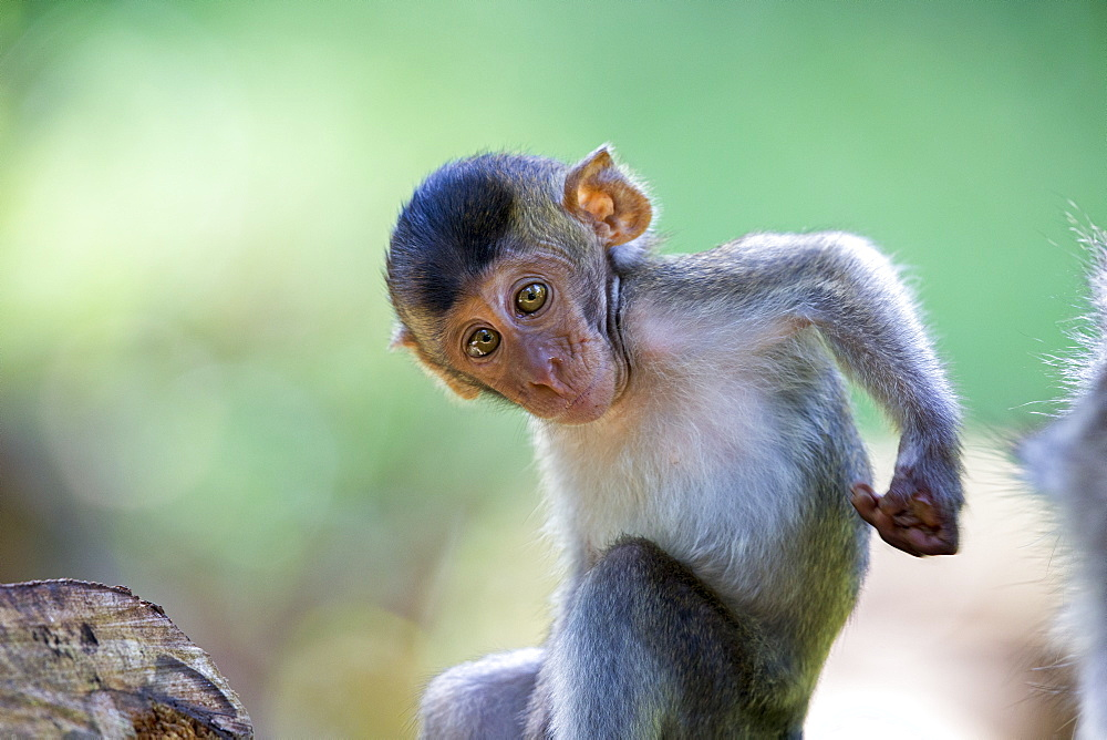 Young Long-tailed macaque scratching- Bako Malaysia