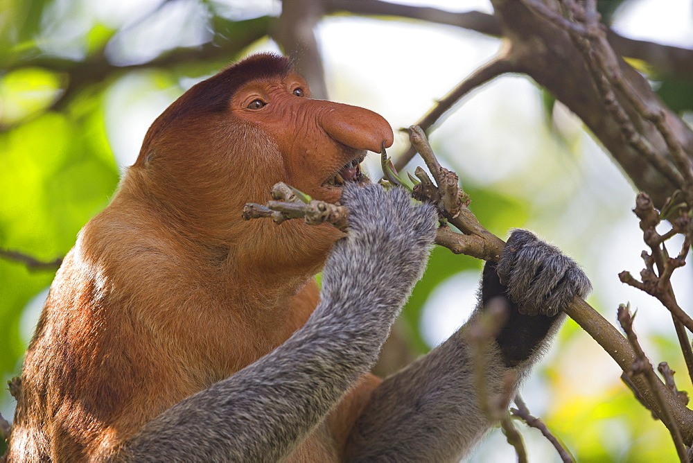 Portrait of Proboscis monkey eating in forest -Malaysia Bako