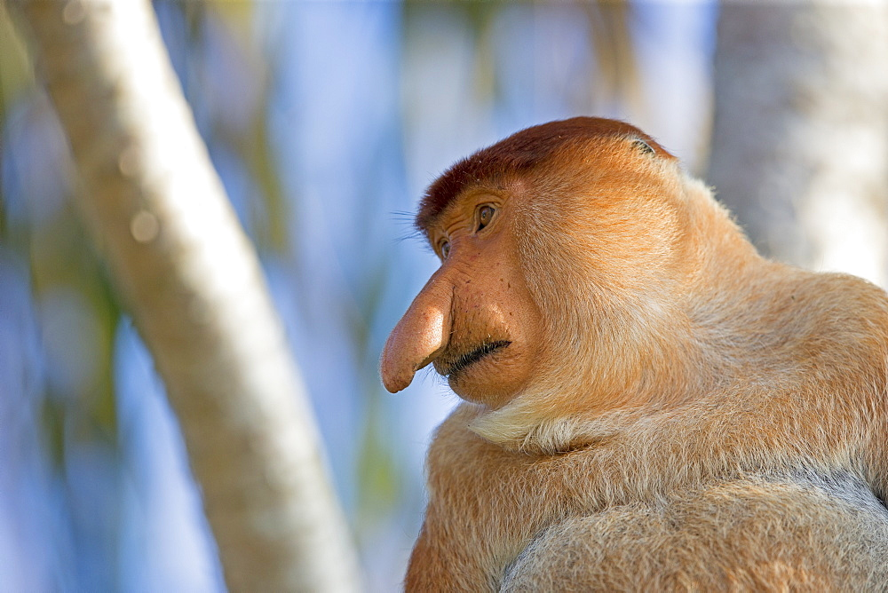 Portrait of Proboscis monkey in forest -Malaysia Bako