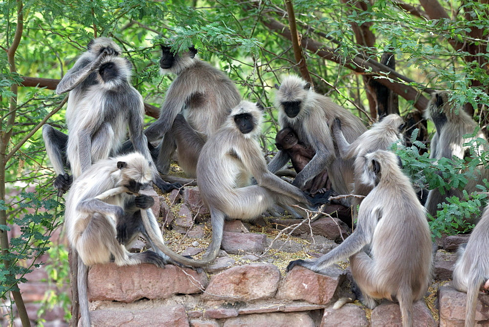 Hanuman Langurs on a wall, Galta Temple Rajasthan India