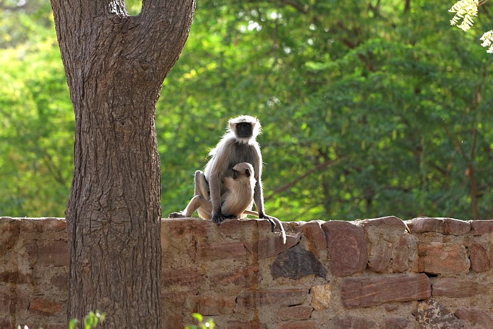 Hanuman Langurs on a wall, Galta Temple Rajasthan India