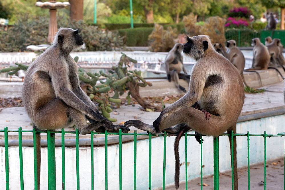 Hanuman Langurs on a fence in the city, Rajasthan India
