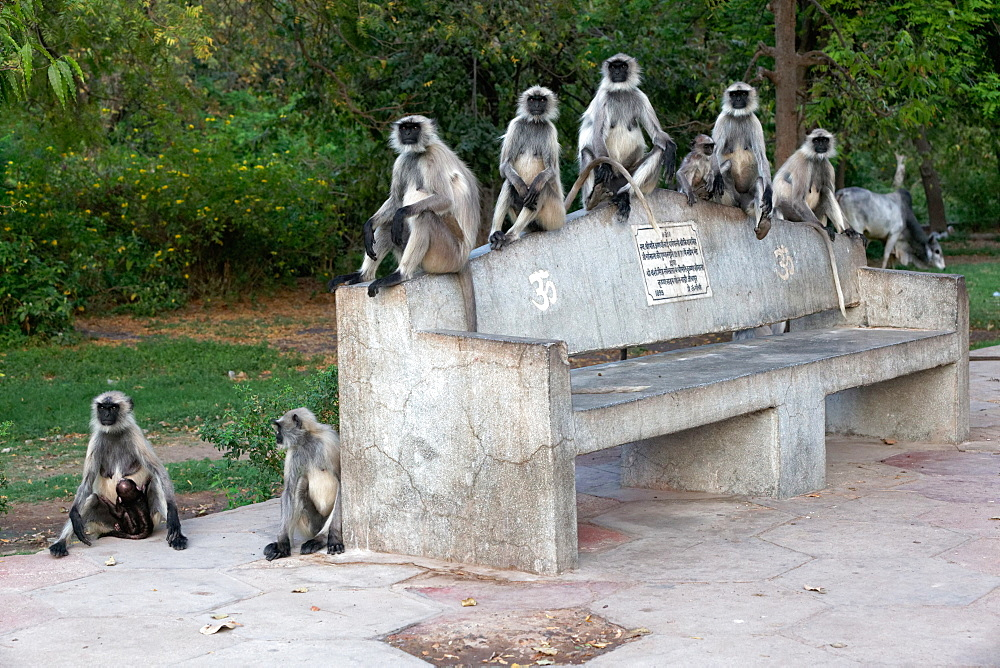 Hanuman Langurs on a bench in the city, Rajasthan India