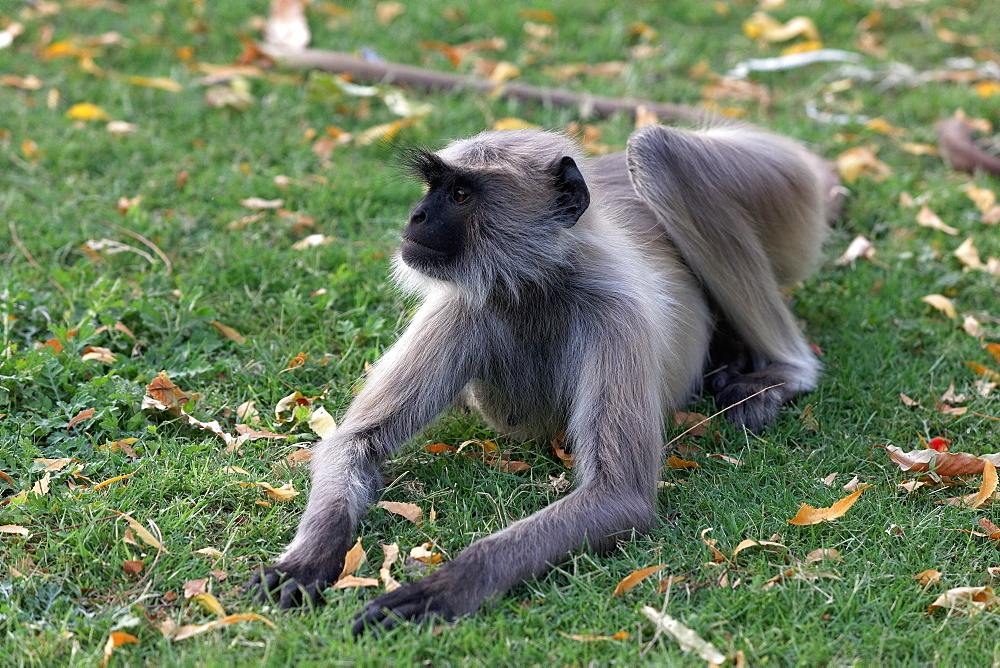 Hanuman Langur lying on grass, Rajasthan India