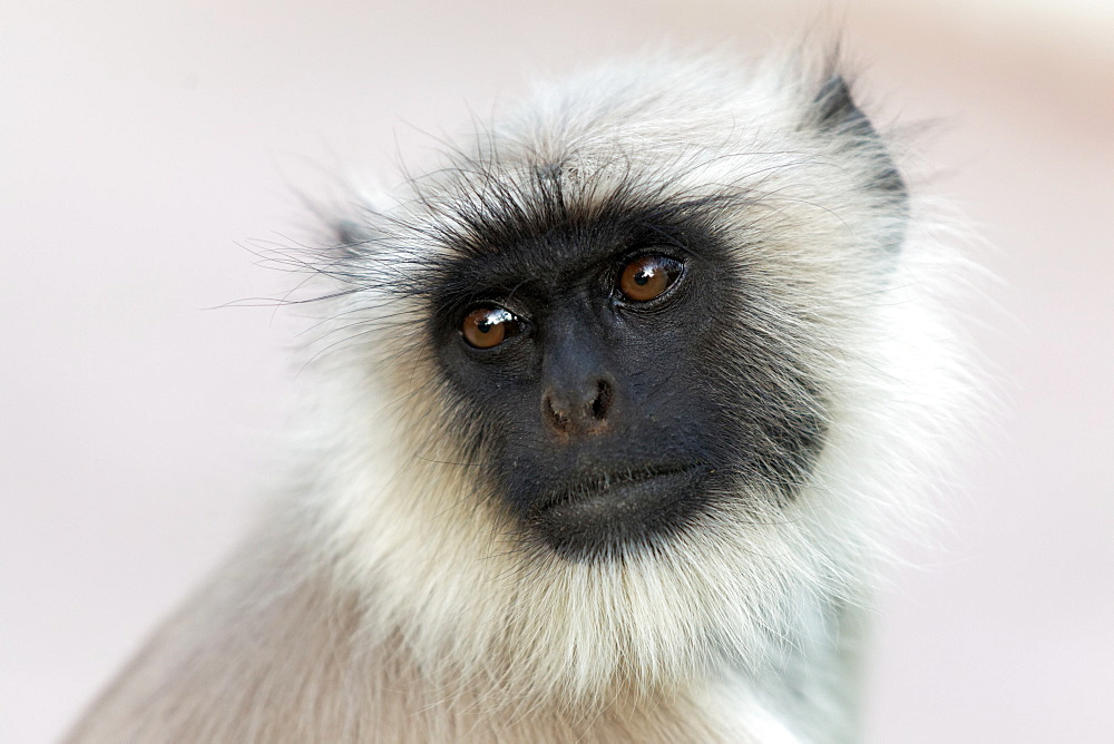 Portrait of Hanuman Langur, Rajasthan India