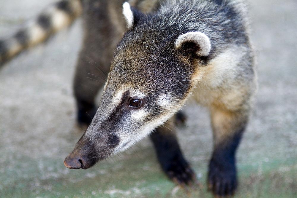 Ring-tailed coati, Iguazu Falls Parana Brazil