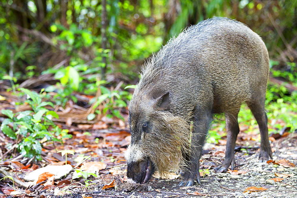 Boar beard undergrowth, Bako Borneo Malaysia