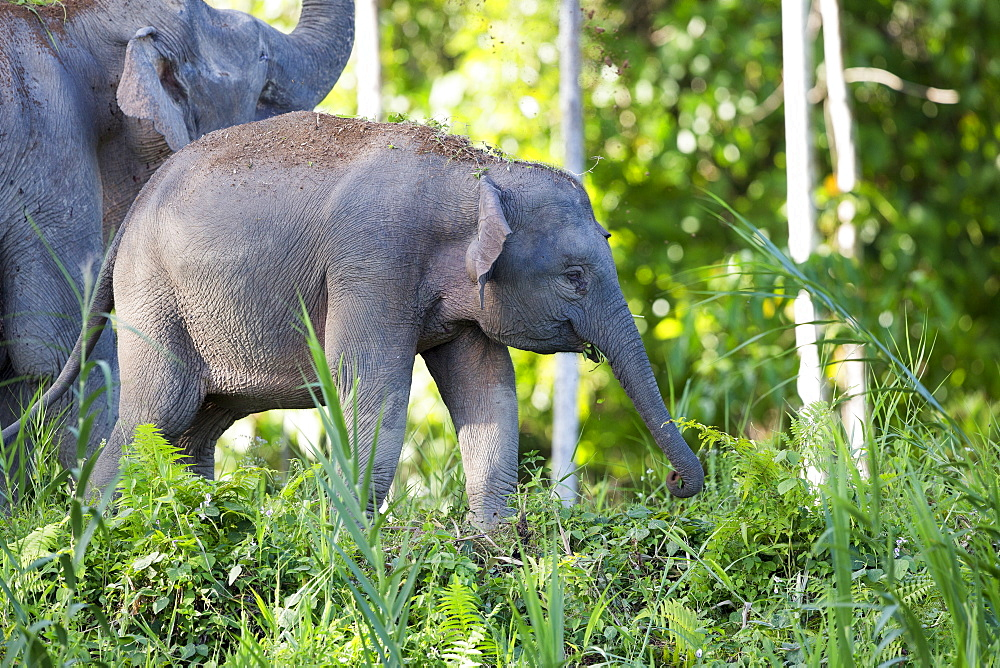 Borneo Pygmy Elephant and young in a clearing, Malaysia