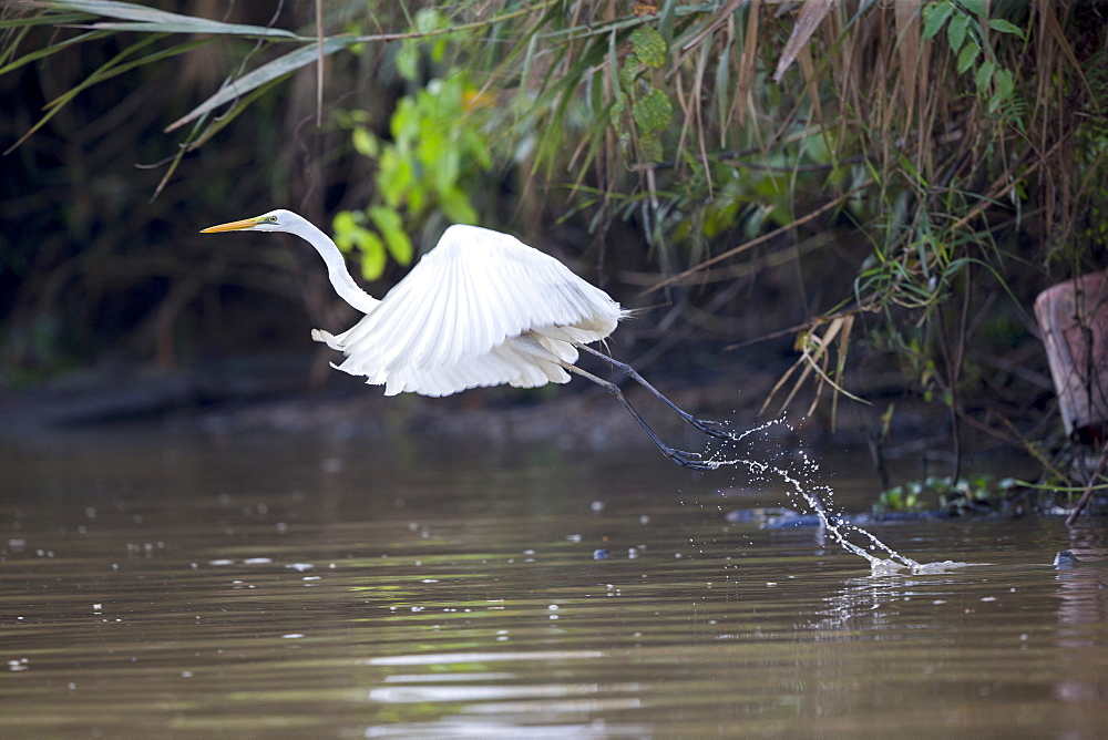 Intermediate egret in flight over water, Malaysia