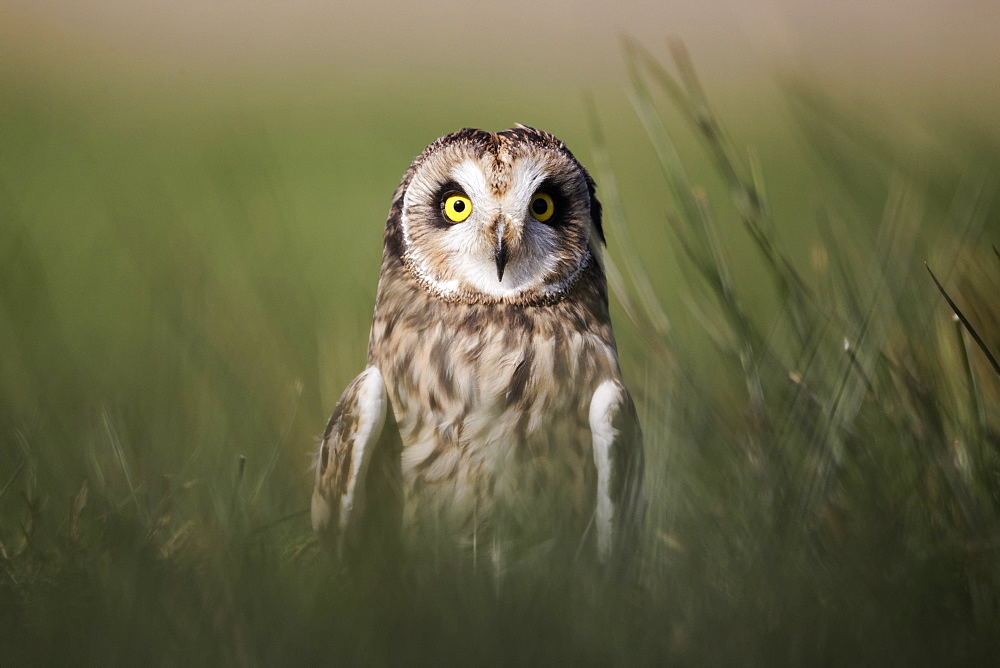 Short-eared owl in grass, UK