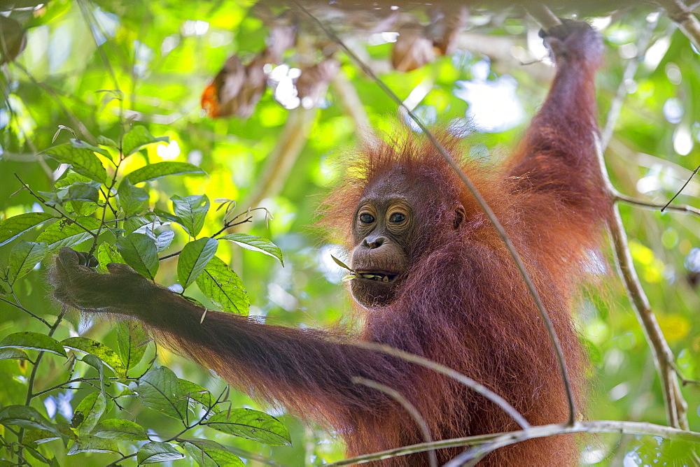 Young Borneo orangutan in the trees, Sabah Malaysia