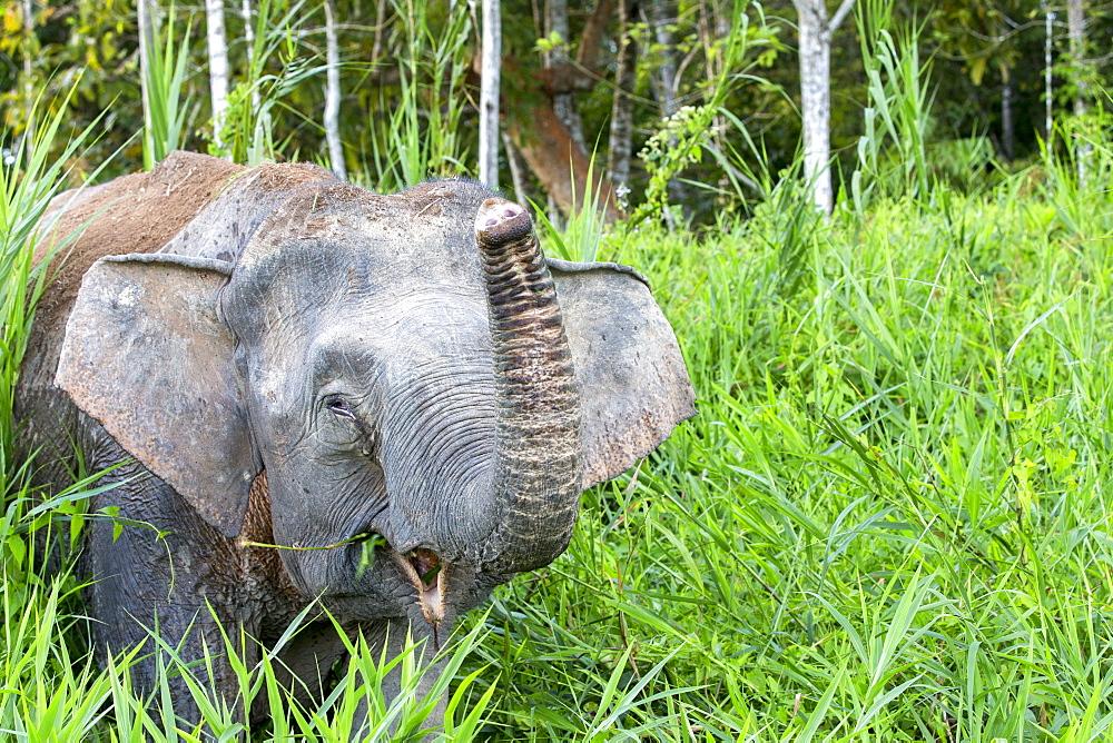 Borneo Pygmy Elephant , Sabah Malaysia