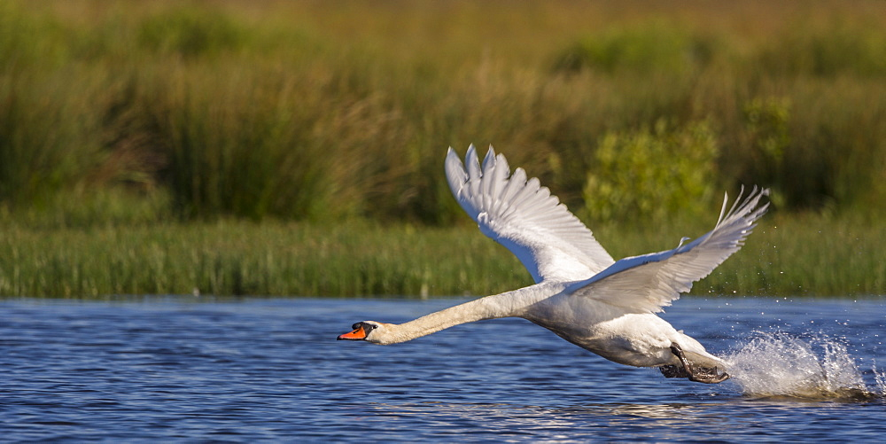 Mute Swan flying away, Ponds La Bassée Somme France