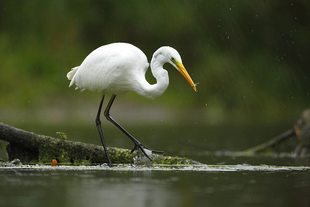 Great Egret fishing in the rain, Offendorf Alsace France