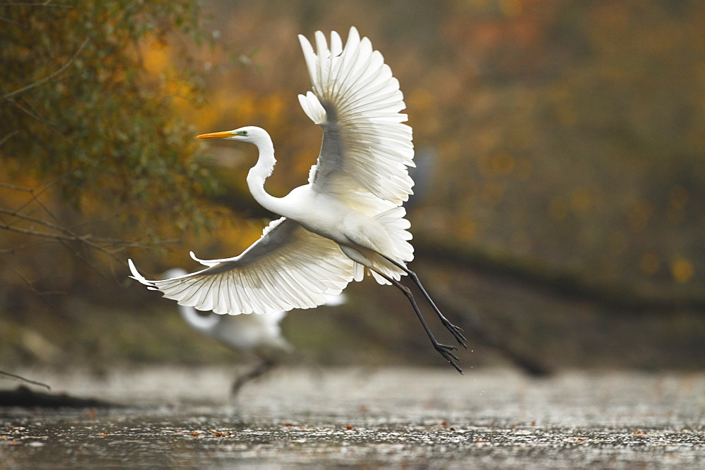 Great Egret flying away in autumn, Offendorf France