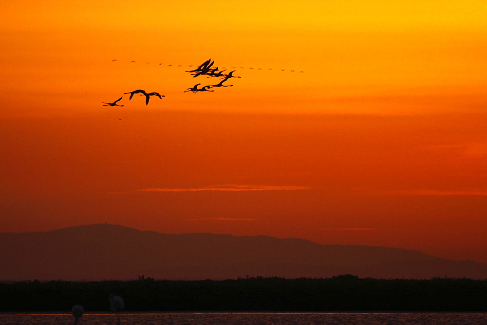 Great Flamingos in flight at dusk, Camargue France