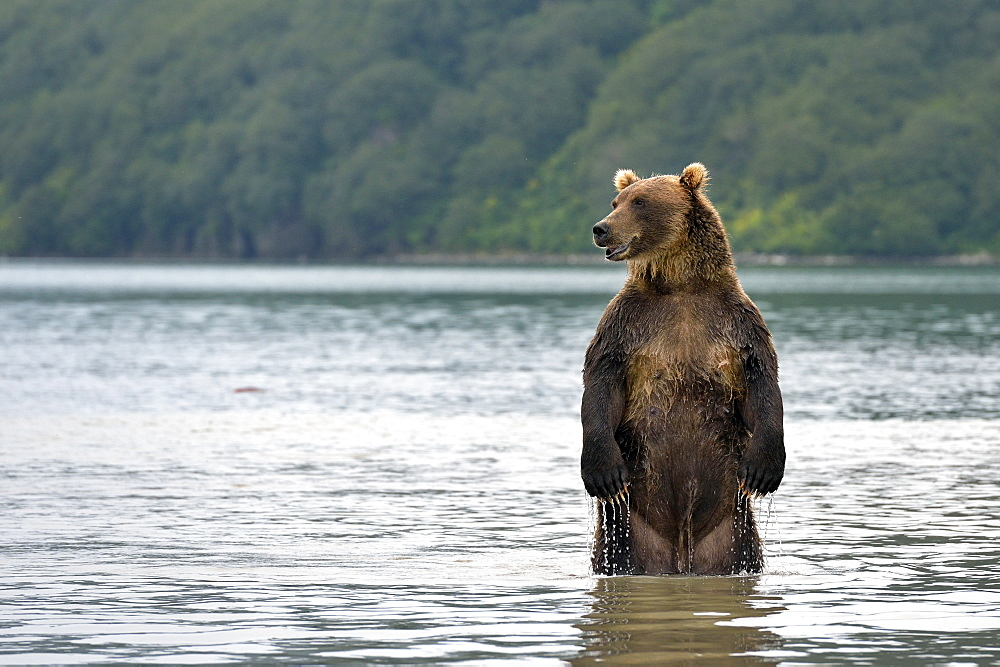 Brown Bear standing in water, Kuril Lake Kamchatka Russia