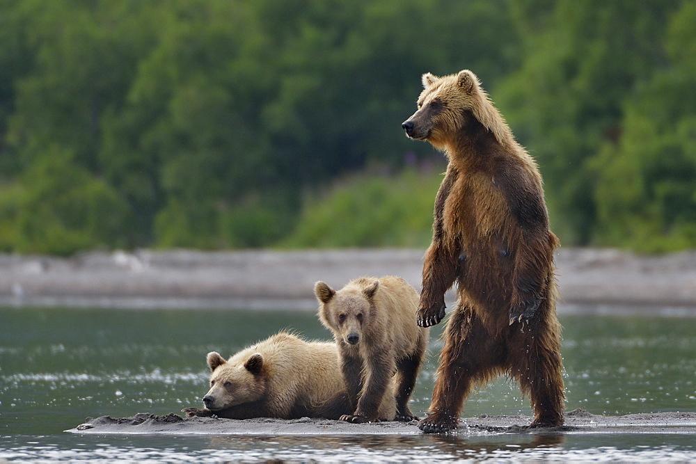 Brown Bear and cubs, Kuril Lake Kamchatka Russia
