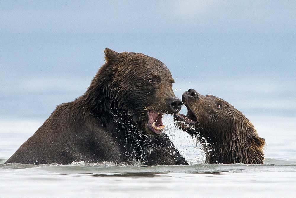 Brown Bears playing on water, Kuril Lake Kamchatka Russia