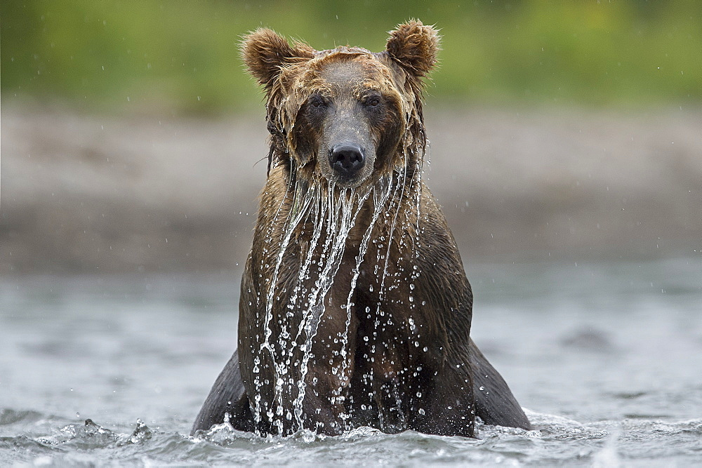 Brown Bear fishing on water, Kuril Lake Kamchatka Russia