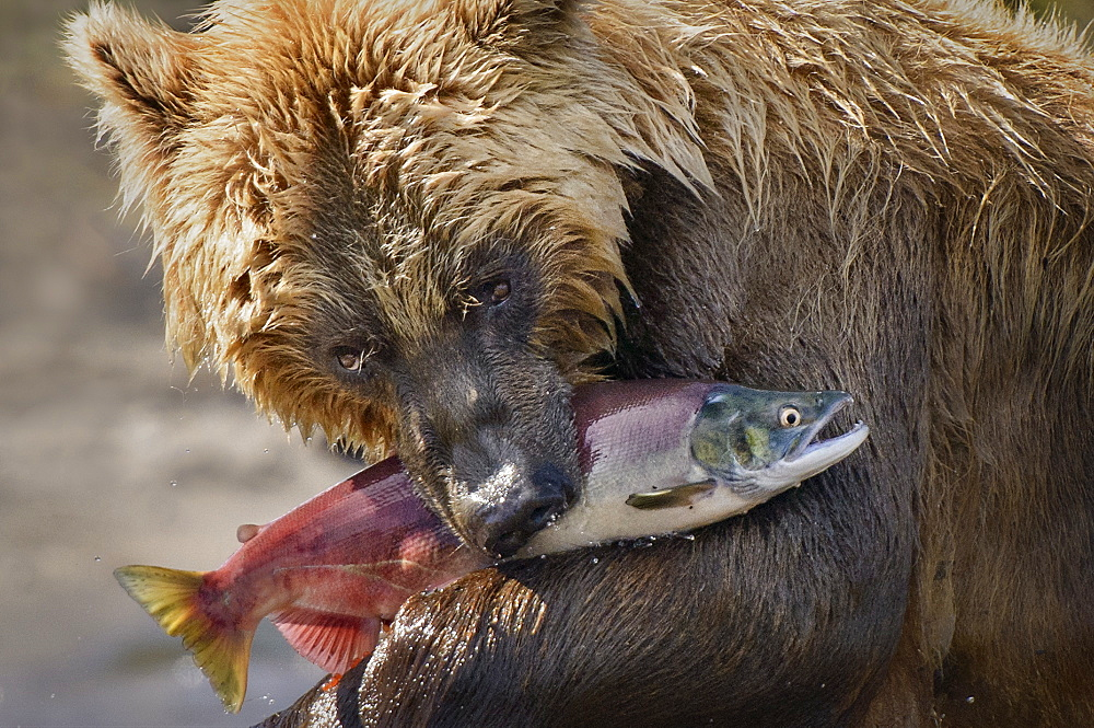 Brown Bear catching a Salmon, Kuril Lake Kamchatka Russia