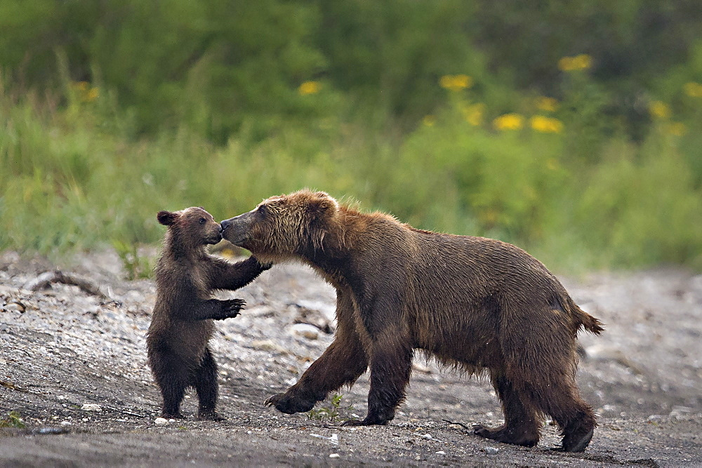 Brown Bear and cub on bank, Kuril Lake Kamchatka Russia