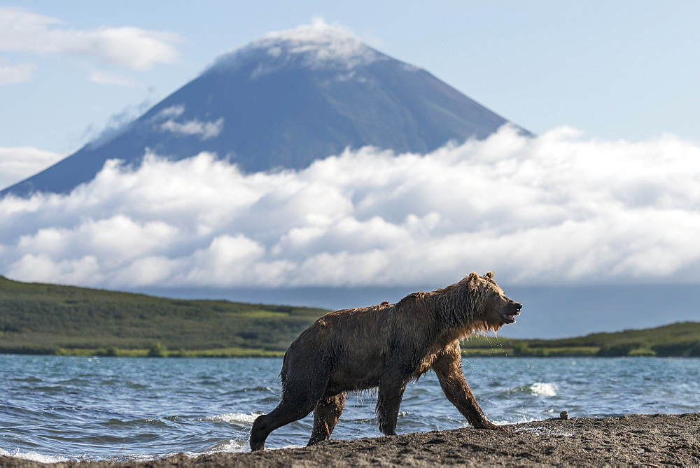 Brown Bear on bank and volcano, Kuril Lake Kamchatka