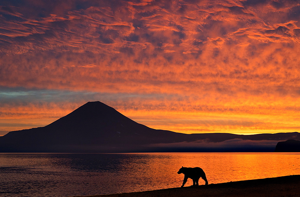 Brown Bear and volcano at dawn, Kuril Lake Kamchatka Russia
