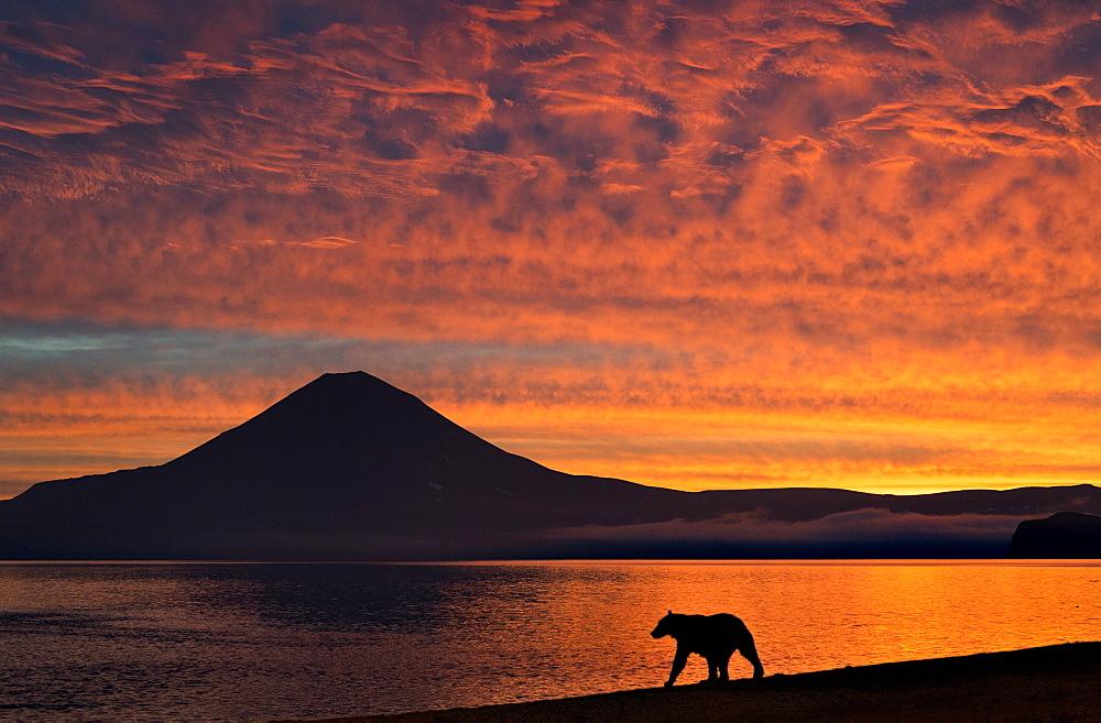 Brown Bear and volcano at dawn, Kuril Lake Kamchatka Russia