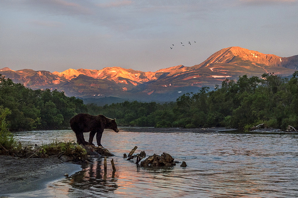 Brown Bear on bank at dawn, Kuril Lake Kamchatka Russia