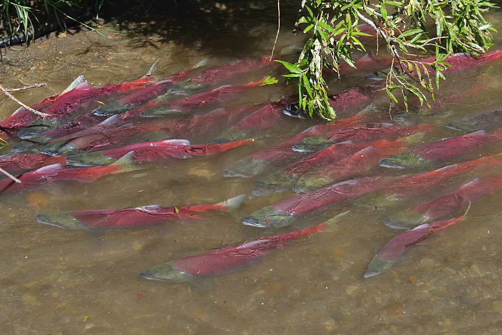 Sockeye Salmons near the bank, Kuril Lake Kamchatka Russia