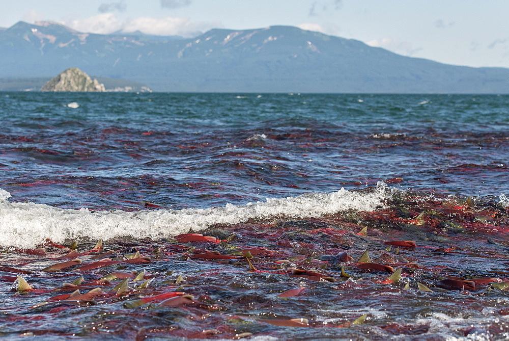 Sockeye Salmons, Kuril Lake Kamchatka Russia